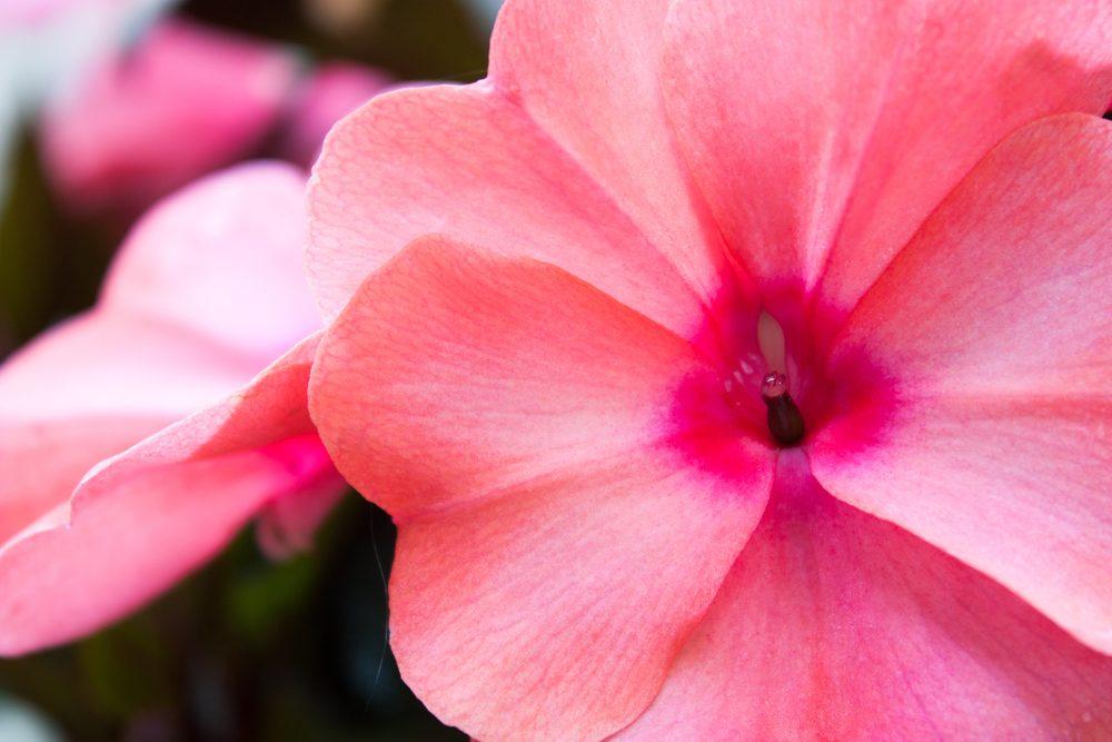 Fleurs comestibles : les impatientes