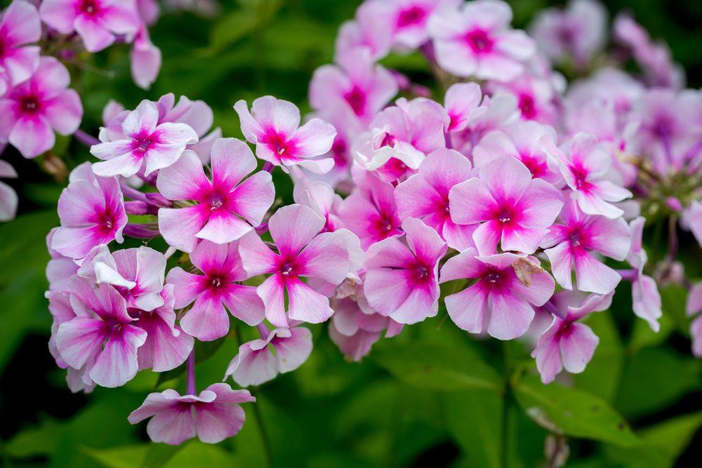Fleur comestible : le phlox (p. paniculata)