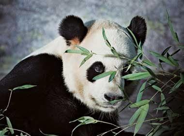 Fous des pandas