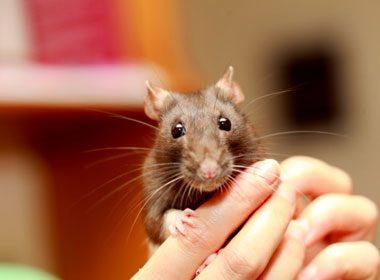 Un rat bouleverse la vie d'un jeune couple!