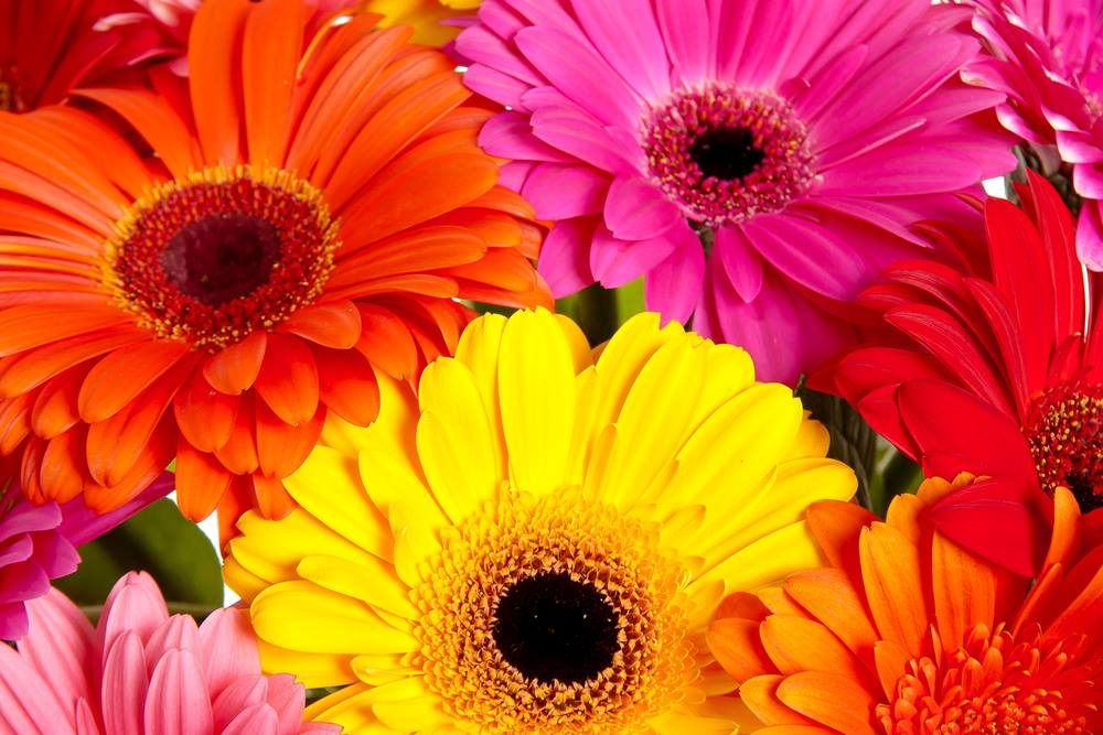 The gerbera for deep and experienced relationships