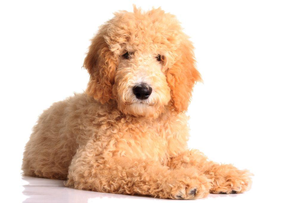 Le Goldendoodle est populaire auprès des familles