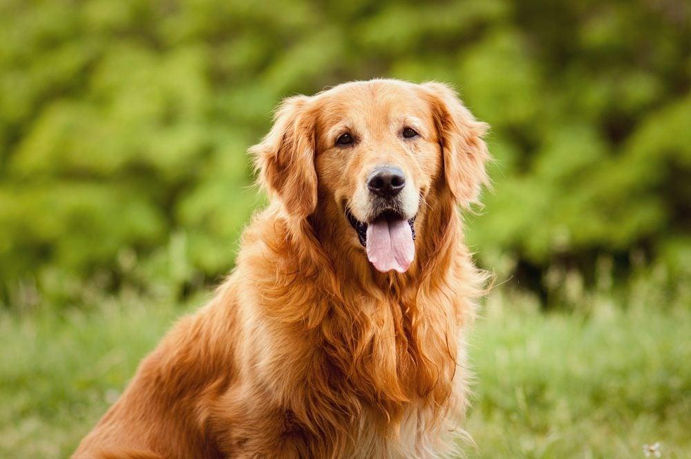 Le Golden retriever est le meilleur chien qu'il faut pour la famille.