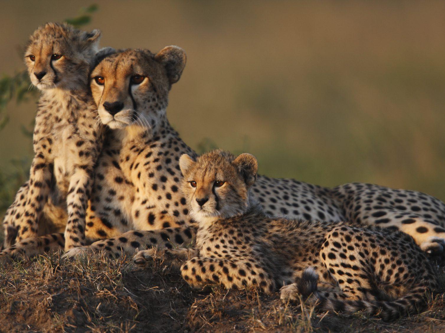 Royaume animal: Observez les guépards en Afrique du sud.