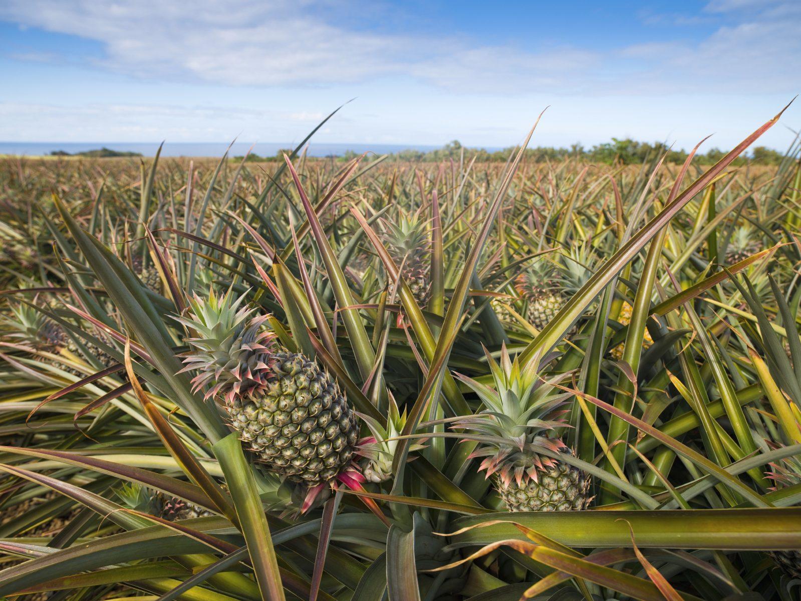 9. Les ananas les plus frais du monde
