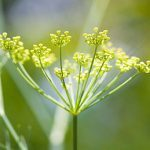 Un jardin de fines herbes indispensables