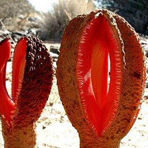 9. L'Hydnora Africana