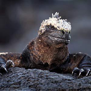 4. L'iguane marin peut retenir son souffle pendant 15 minutes