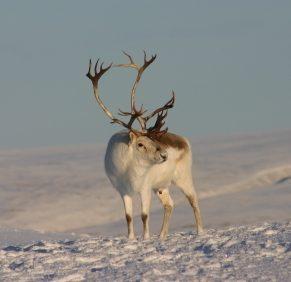 1. Le caribou de Peary