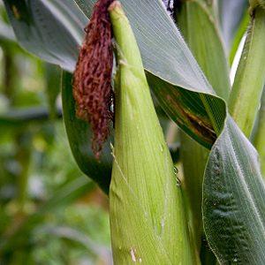 Épargnez votre maïs avec de l'huile minérale