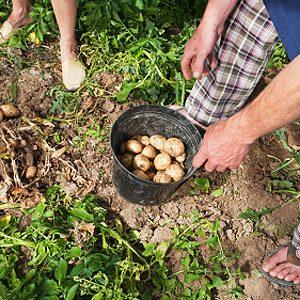 Une tour de pneu pour vos pommes de terres
