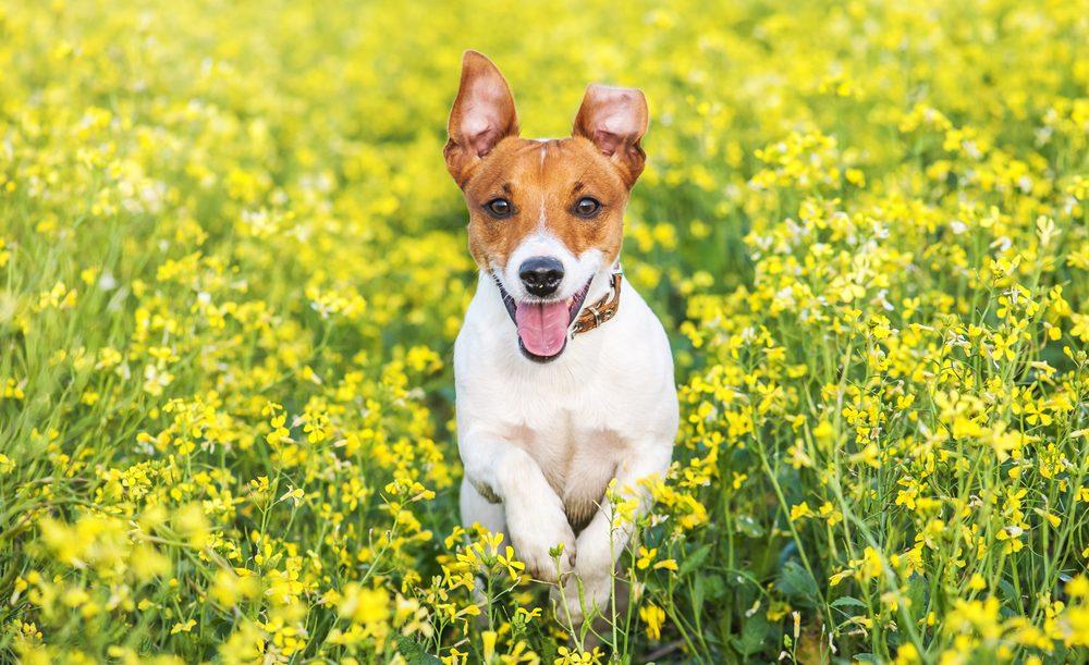 Le Jack Russel Terrier déborde d'énergie