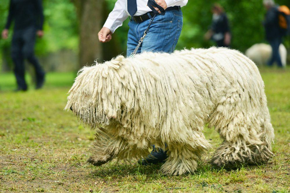 Le Komondor: une race de chien étonnante... au pelage imposant!