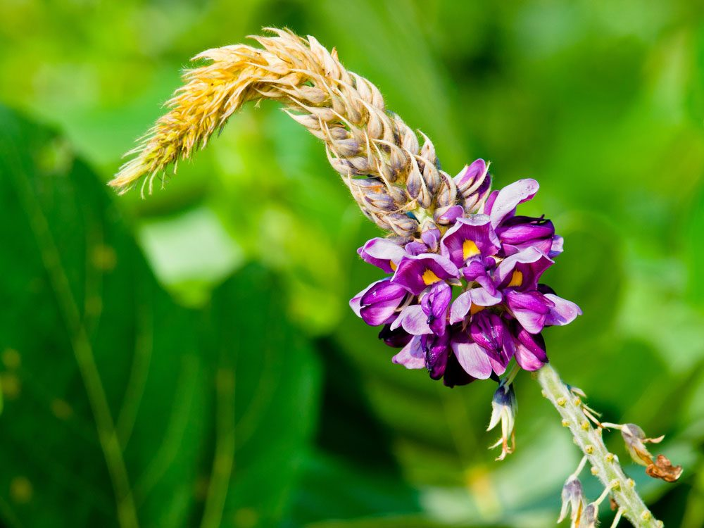 Le kudzu est un rem de naturel qui peut aider combattre - Moucheron plante remede naturel ...