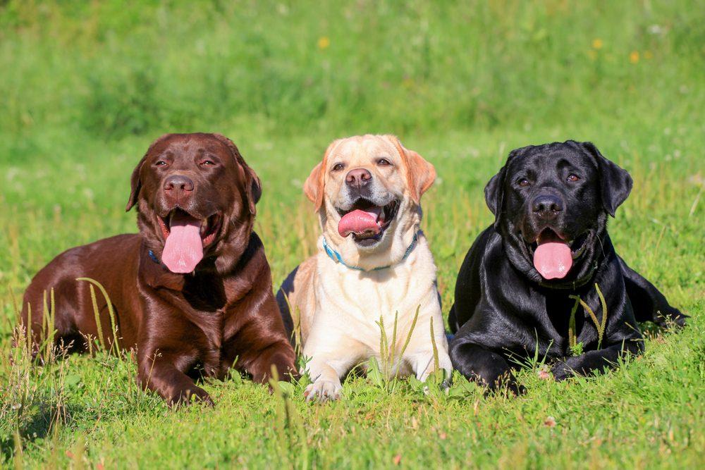 Le Labrador retriever, un race de chien de choix pour les familles