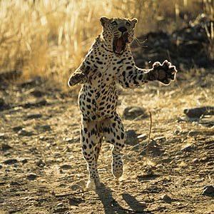 6. Le léopard est le plus répandu des félins