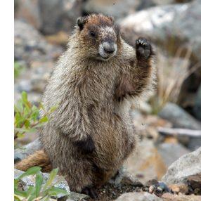 5. La marmotte de l'île de Vancouver