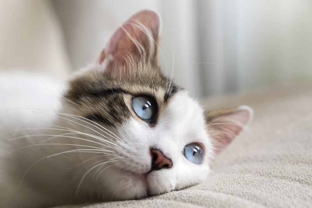 Les 20 meilleures races de chat pour vous et votre famille