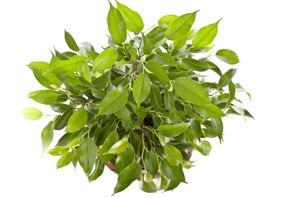 7. Le figuier est une plante d'intérieur qui résiste bien au temps