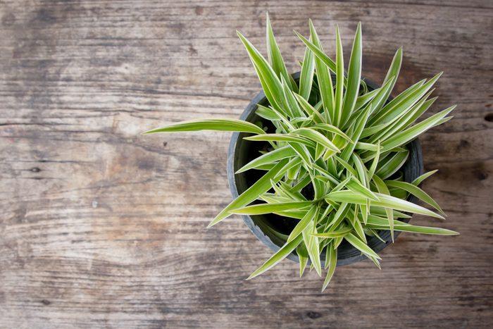 La plante araignée est une plante d'intérieur facile à entretenir.