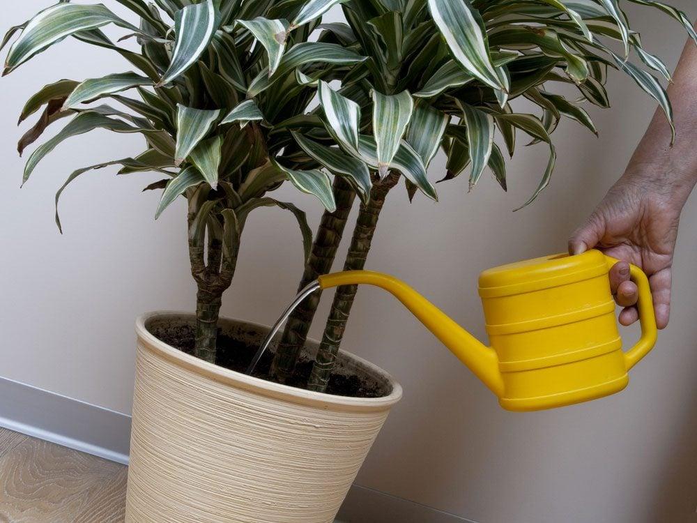 Le Dragonnier est une agréable plante d'intérieur.