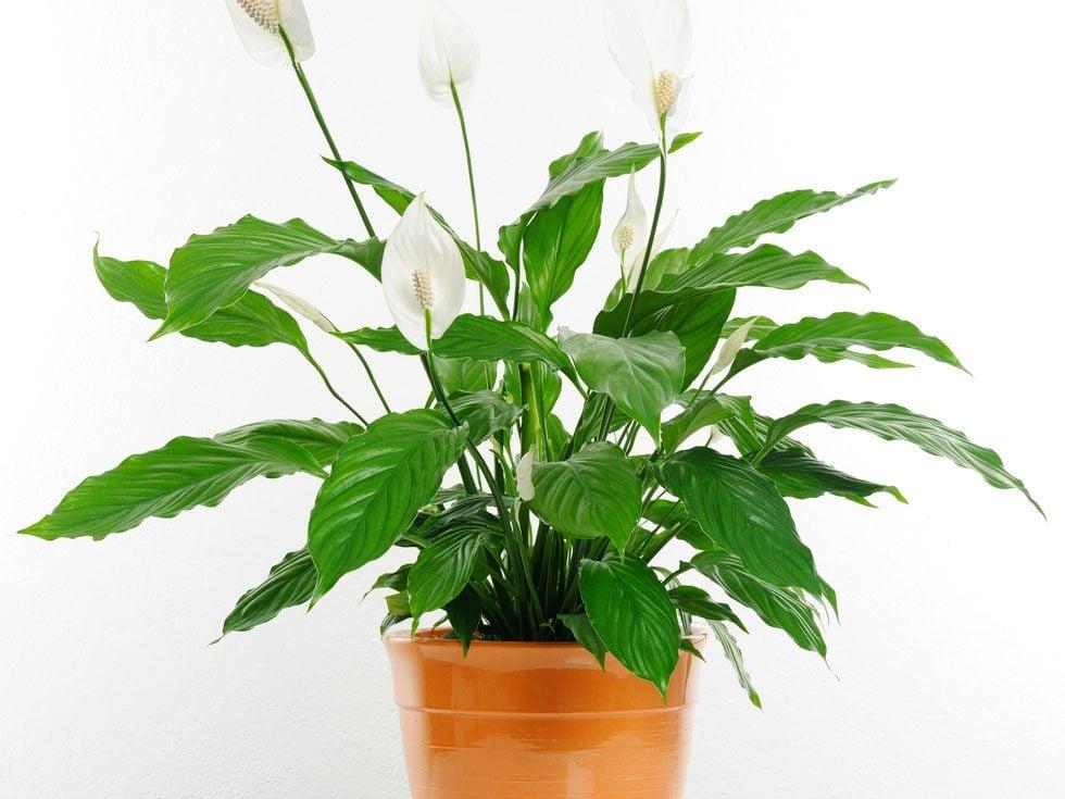 2. Une excellente plante d'intérieur pour votre santé: le faux arum
