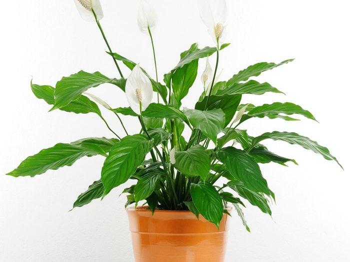 Le faux arum est une excellente plante d'intérieur pour votre santé.