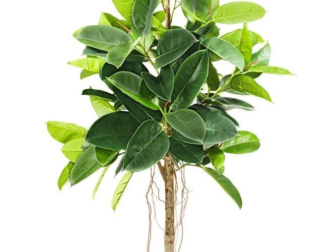 5. Le caoutchouc est l'une des meilleures plantes d'intérieur que vous puissiez avoir