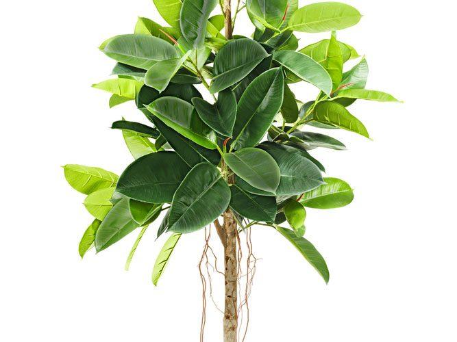 Le caoutchouc est l'une des meilleures plantes d'intérieur que vous puissiez avoir.