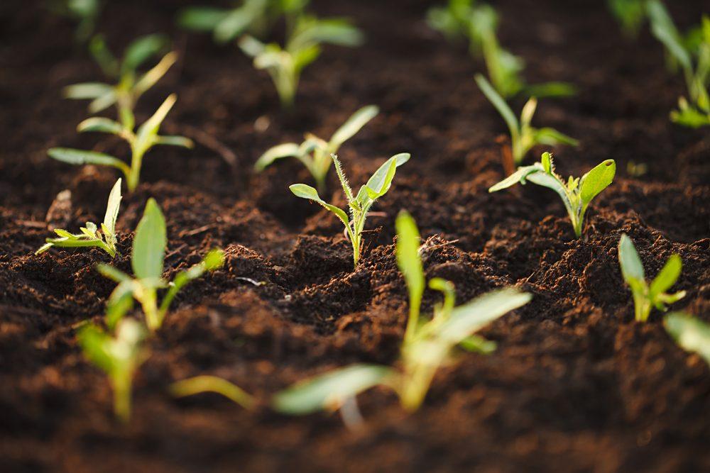 3. Les astuces pour cultiver de grosses tomates: les semis