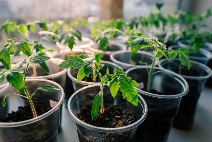 2. La meilleure astuce pour cultiver de grosses tomates: la germination