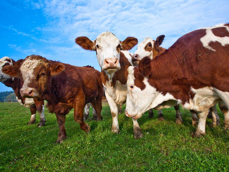 L'élevage intensif de bétail est énergivore et polluant