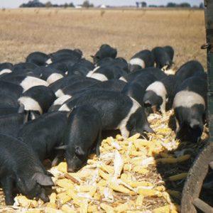 L'alimentation du bétail