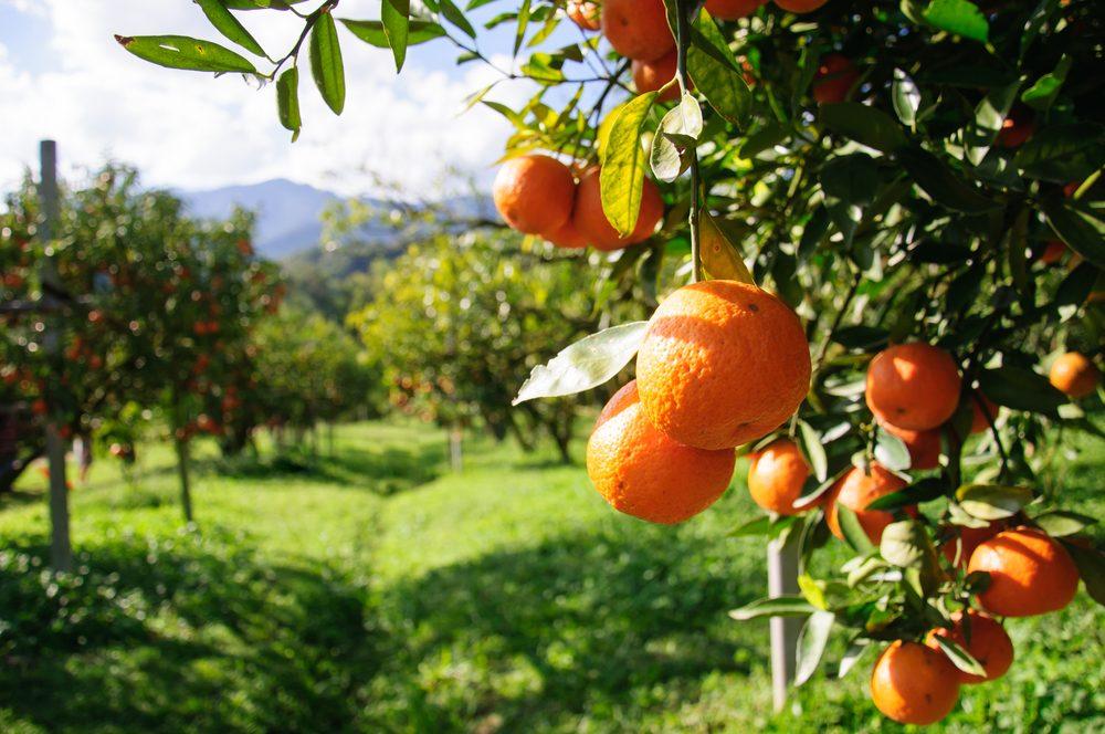 Source de protéines végétales : les oranges.