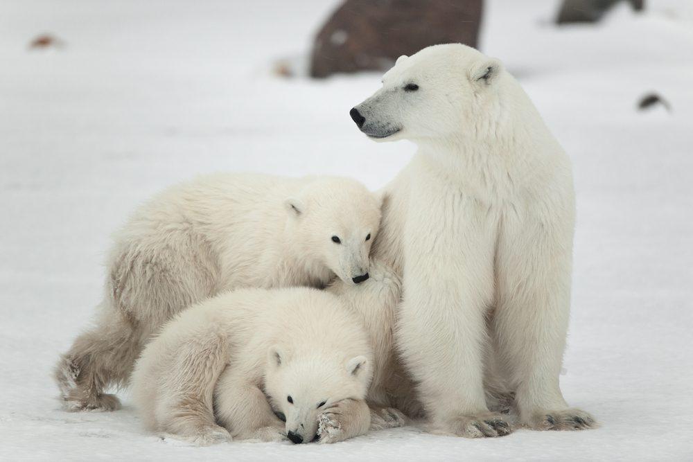 Bélugas et ours