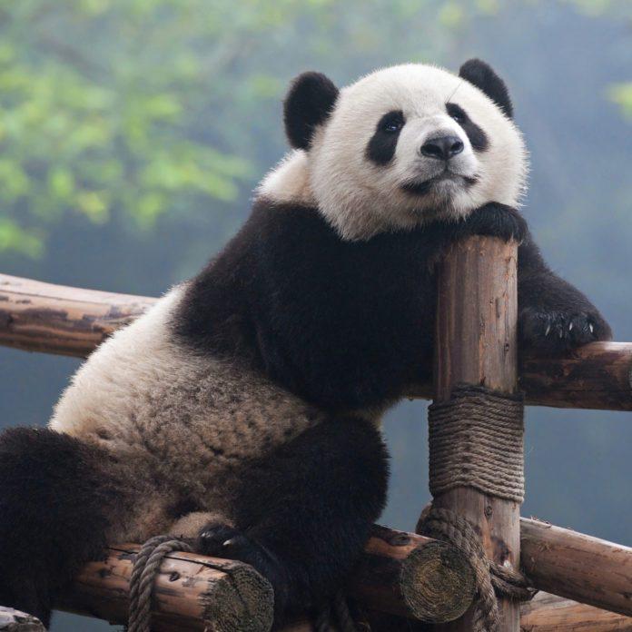 13 choses à savoir sur les pandas