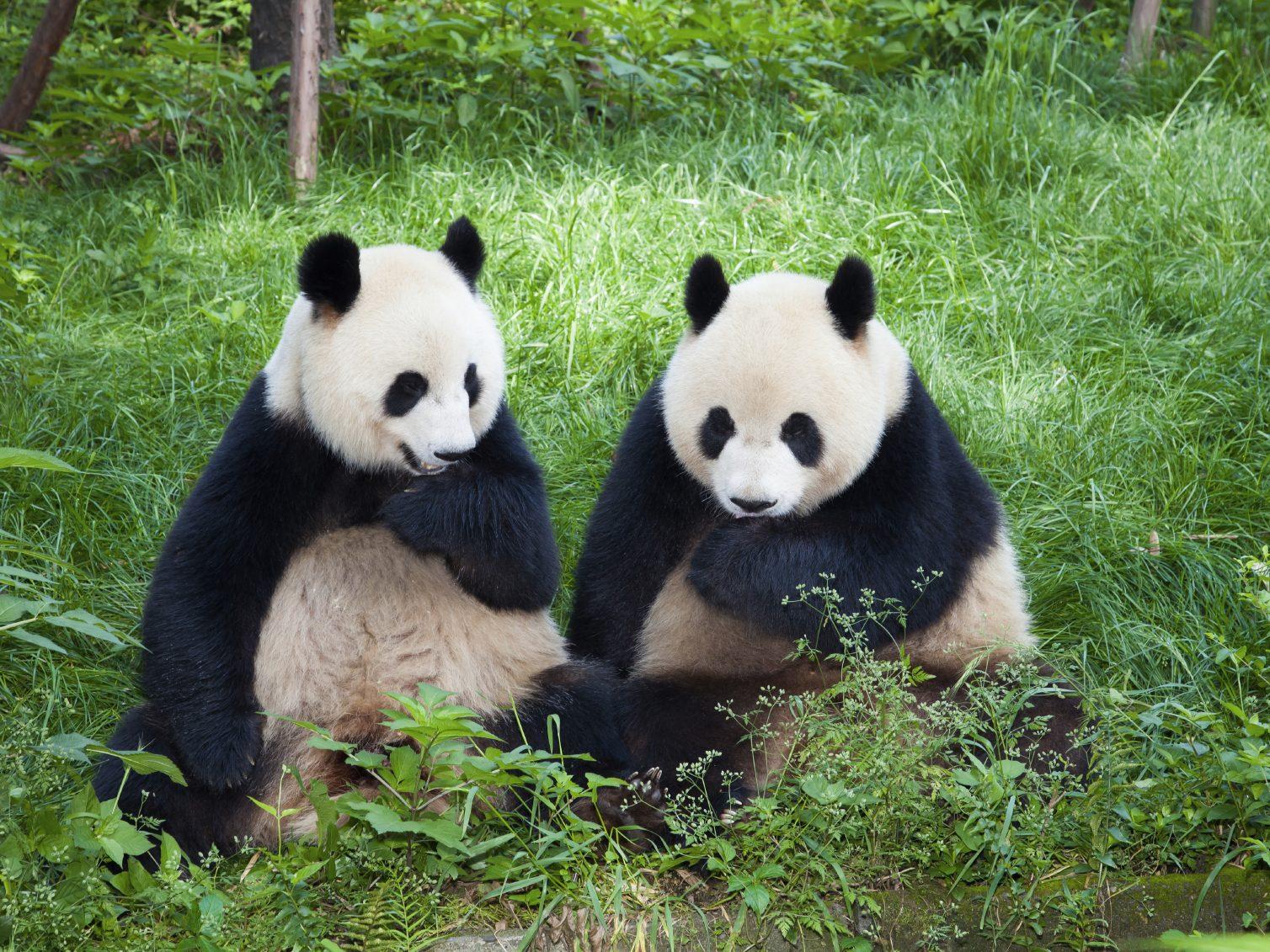 Royaume animal: partez à la rencontre des pandas.
