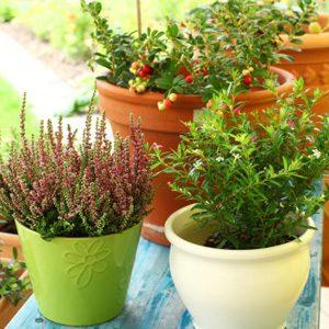 Jardin: baies et autres petits fruits à cultiver chez soi