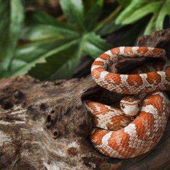 Un homme brave sa peur bleue des serpents en Amazonie
