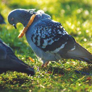 5. Pigeon