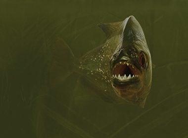 Expérience : il nage avec des piranhas!