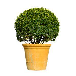 6. Préférez un plant trapu.