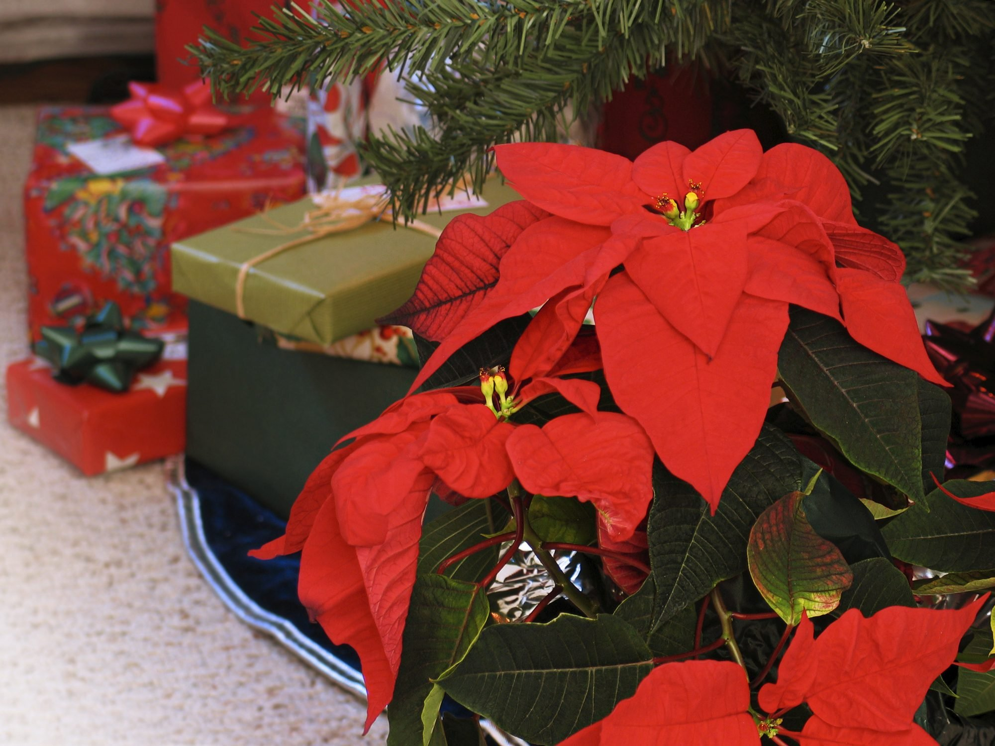 1. Les poinsettias
