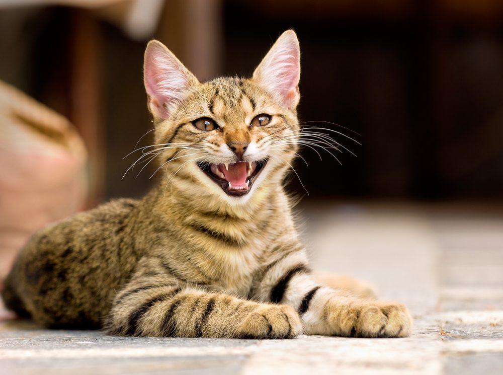 3. Pourquoi certains chats miaulent-ils sans cesse?