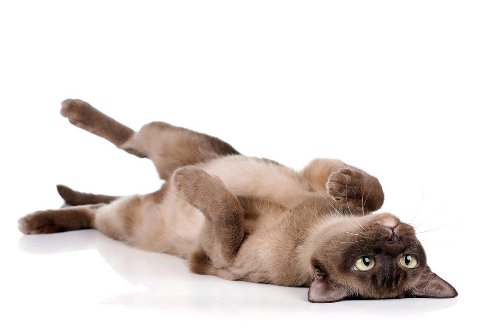 2. Pourquoi le chat se roule-t-il sur le plancher?