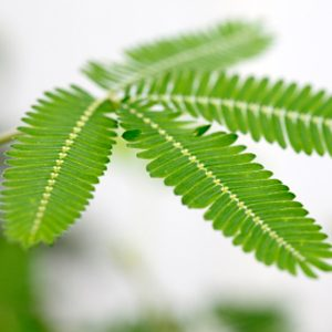 5. Le Mimosa Pudica