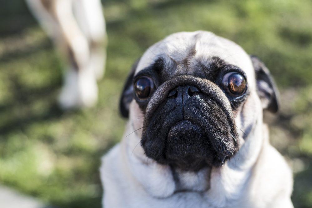 Le Carlin (ou Pug)