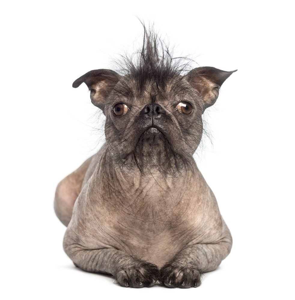Bekannt Les 20 races de chiens les plus étranges au monde LG74