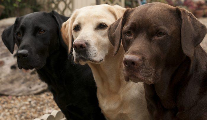 1. Le labrador est le chien le plus populaire
