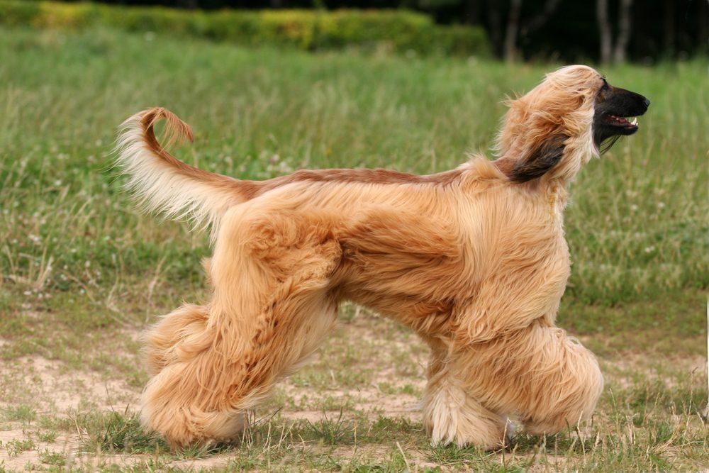 1. La race de chien la plus stupide: le lévrier afghan